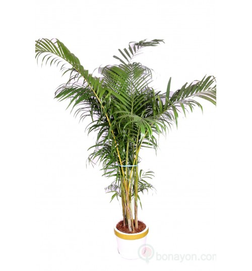 Areca Palm Indoor Plant Large Bush Six Feet With Golden White Planter